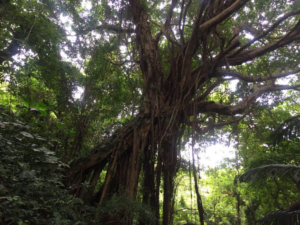 カジュマルの木@ガンガラーの谷